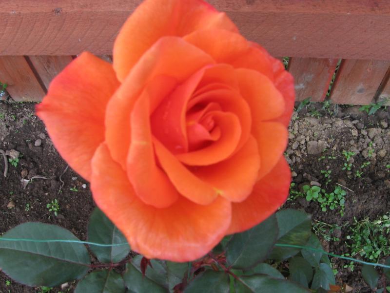 сумидеро плетистая роза метанойя фото ищите